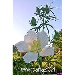 Portal Cool 15 Samen Hibiscus Coccineus Alba 2018 weiße Hibiskus-Samen Samen Graines Graines