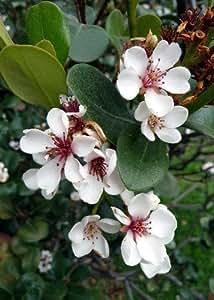 TROPICA - Ananas-Guave (Acca sellowiana) - 20 Samen