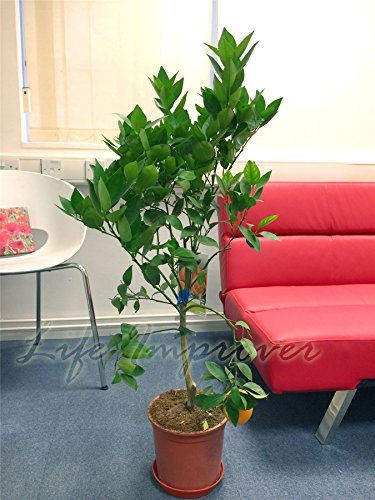 1-large-standing-citrus-fruit-tree-in-pot-orange-tree