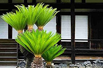 Bonsai plants buy bonsai plants online at best prices in india vamsha nature care 3 years old live bonsai king sago palm tree 15ft fandeluxe Image collections