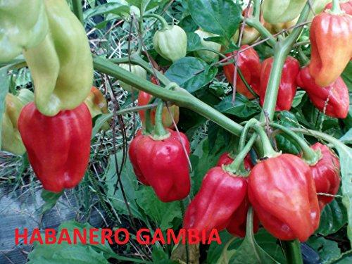 Galleria fotografica SEMI PEPERONCINO HABANERO POCO COMUNI--UGANDAN RED-SURINAME-GAMBIA-EBONY GIANT--