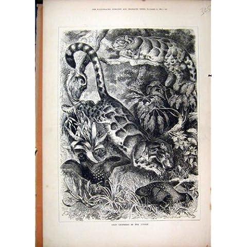Impresión Vieja Gris de 1877 de los Leopardos de la Selva Animales Salvajes de los Pájaros [Cocina y