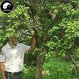 VISTARIC gemischt: Verlust Förderung! 50 PC-Echt japanische Blau Maple Samen Seltene Balkon Bonsai-Baum-Pflanzen für Hausgarten-Luft-Reinigung