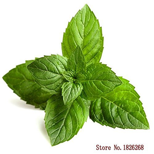Menta 30 semillas de hortalizas mínimo jardín de plantas fáciles de cultivar D036