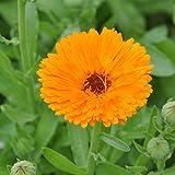 Echte Ringelblume - gefüllte, tief orange Blüten – Calendula officinalis – Zier / Arzneipflanze - 200 Samen