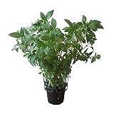 Thai-Basilikum im Topf in Gärtnerqualität, große Pflanze, frisches Küchenkraut, mediterrane Küche, süßlicher Geschmack, vielseitig einsetzbar