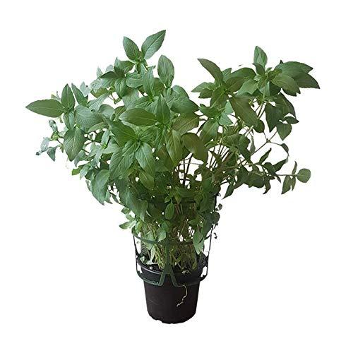 1 Pflanze Thai-Basilikum im Topf - große, echte Pflanze - frisches Küchenkraut - mediterrane Küche - Gewürzkräuter
