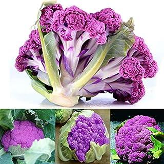 AIMADO Samen-Bio 10 Pcs Broccoli violett Saatgut Gemüse,Sehr vitamin- und mineralstoffreich,Brokkolisamen hervorragendes Herbst- und Wintergemüse