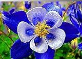 Seltene Akelei Columbine blau mehrjährig Blumensamen, Profi-Pack, 50Samen/Pack, Sehr Beautiful Garden FLOWER e3370