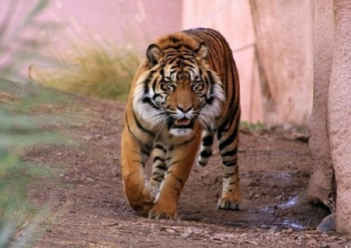 photo-wallpaper-tiger-lider-wild-cat-in-the-jungle-wall-mural-254x183cm