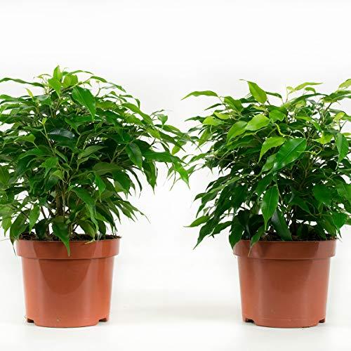 BOTANICLY | 4 × Plantas naturales - ficus | Altura: