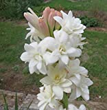 #4: Kraft Seeds Rajnighandha Or Tuberose Flower Bulbs (White, Pack of 8 Bulbs)