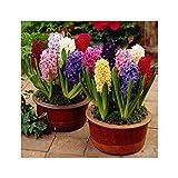 Best Mixed Indoor Plants - GARTHWAITE NURSERIES® : - 9 Prepared Indoor Hyacinth Review