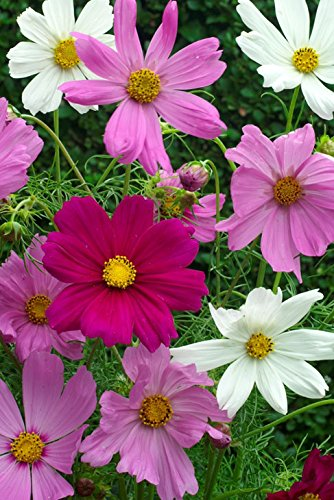 cosmos-sensation-mix-600-flower-seeds
