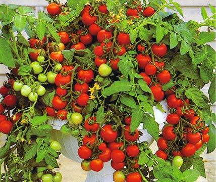 Bobby-Seeds Tomatensamen Cherrytomate Maskotka Portion - Orange Cherry-tomaten