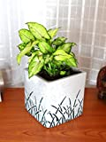 #10: Rolling Nature Good Luck Green Syngonium in White Cube Aroez Ceramic Pot