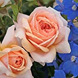 Kordes Rosen Beetrose, Garden of Roses, creme pastellrosa, 12 x 12 x 40 cm, 302-31