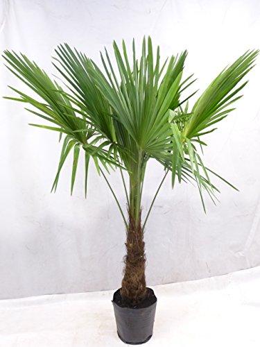 [Palmenlager] - Trachycarpus fortunei 160/180 cm, Stamm 40 cm -'Chinesische Hanfpalme' // Winterharte Palme -17°C