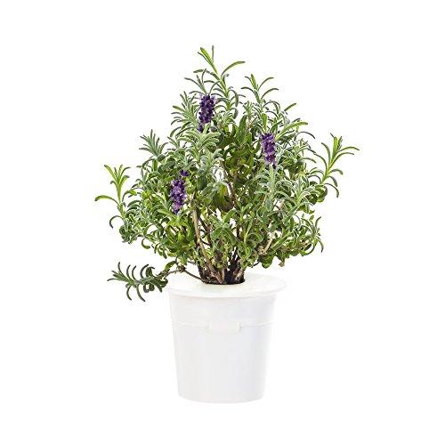 Click & Grow Lavendel Nachfüllpackung 3er-Pack für deinen smarten Kräutergarten (Lavendel 21 Voll)