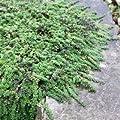 Teppichthymian Minor - Thymus praecox Minor - Flachwachsender Thymian von Native Plants bei Du und dein Garten