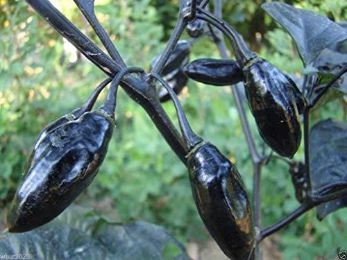 VISA STORE 10 Pimenta da Neyde Pfeffersamen (Capsicum chinense) extrem seltene, muss wachsen
