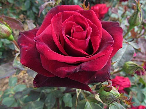 Shop Meeko SECRET DEEP - Hybrid Rose Garden racines nues Bush - Deep, Velvet fleurs rouges - Superbe parfum fort