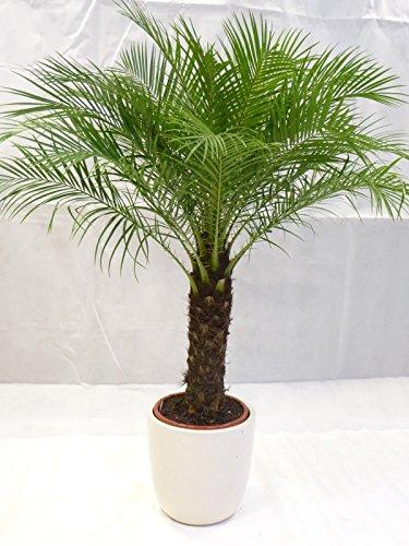 Phoenix roebelenii Zwerg-Dattelpalme 130 cm / Stamm 30-40 cm / Zimmerpalme