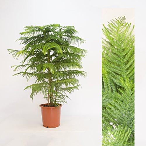 """Inter Flower -Zimmertanne,Araukarie""""Heterophylla"""",Norfolktanne 100cm+/-"""