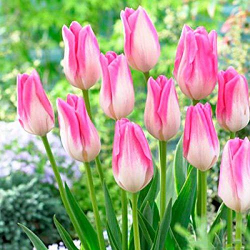 Keptei Samenhaus- 20 Stücke Tulpenzwiebeln Samen Tulpenmischung Blumenpflanze Bonsai Saatgut winterhart mehrjaehrig duftend