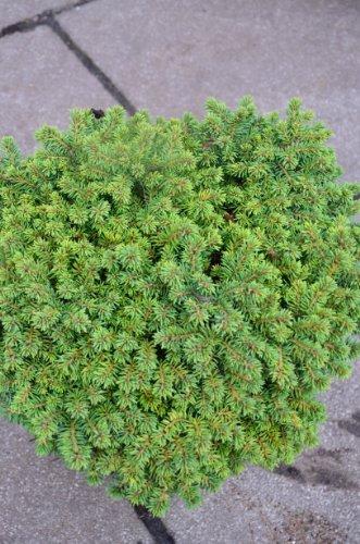 grüne Igelfichte Picea abies Echiniformis 25-30 cm breit im 3 Liter Pflanzcontainer