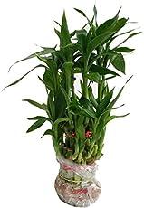 ShubhBhakti™ Feng Shui Lucky Bamboo Plant (6x8x6 , Green)