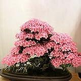 Inovey 10ST Sakura Blume Samen Rosa Kirsche Blüte Baum Bonsai Pflanzen Garten seltene Stauden Pflanzen - Rosa