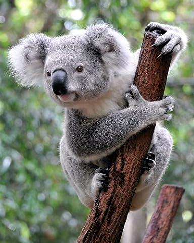 Animal-carte postale animaux en australie : «pUTZIGER kOALA-ours