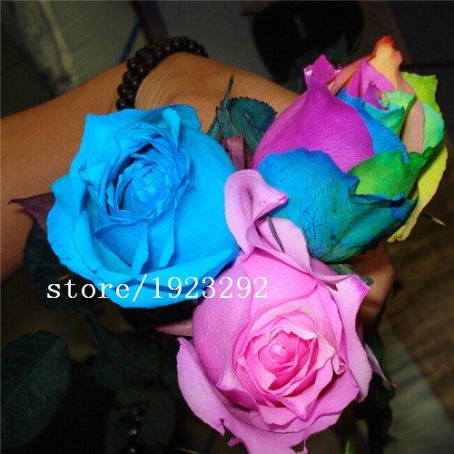 AGROBITS 100 Blue Dragon Rosa semina, bella striscia Rare cespuglio di rose pianta, giardino o fiore cortile: