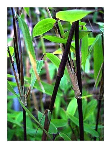 Fargesia yunnanensis - winterharter Bambus - 50 Samen