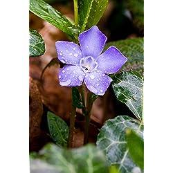 PLAT FIRM GERMINATIONSAMEN: Bodendeckerpflanzen Vinca Immergrün Myrtle Purple Flower Rooted live Plants