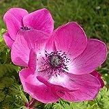 Aimado Seeds Garden - 10pcs Graines de Anemone coronaria Bicolor - Anémone de Caen Anemone coronaria double Admiral grainé fleur jardin plante vivace résistant