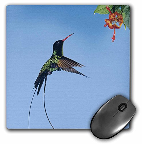 Jamaica Bay (Danita Delimont - Birds - Red-billed Streamertail bird, Montego Bay Jamaica - NA02 RNU0740 - Rolf Nussbaumer - MousePad (mp_84581_1))