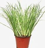 Acorus gramineus Variegatus - Kalmusgras -Ziergras- 12 cm Topf - Wasserpflanze, Balkonpflanze, Kübelpflanze, Gartenpflanze immgrün winterhart