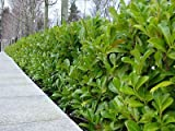 25 Cherry Laurel Evergreen Hedge Plants 25-30cm in Pots 3fatpigs®