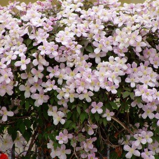 Clematis montana \'Rubens\' - Mehrjährige Kletterpflanze