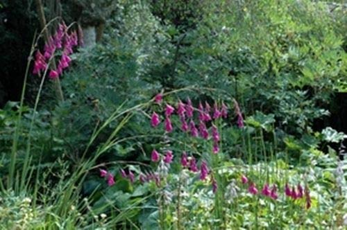 Portal cool dierama pulcherrinum (l'angelo di canna da pesca) - 10 semi. bello, piante graceful