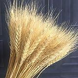 100pcs tallos de trigo seco para la decoración Flores secas naturales Manojos Bundle Roldanas Rama Ramo Arreglos de otoño Florero Artesanía Decorativa Mesa de banquete de boda Centros de mesa