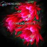 2016 50pcs cinesi rari semi Epiphyllum Oxypetalum Notte Blooming Cereus Flower Garden Bonsai decorazione vegetale
