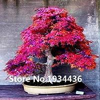 Plantas 10kinds las semillas de arce Bonsai árbol en maceta jardín japonés semillas de arce 10 pedazos / porción