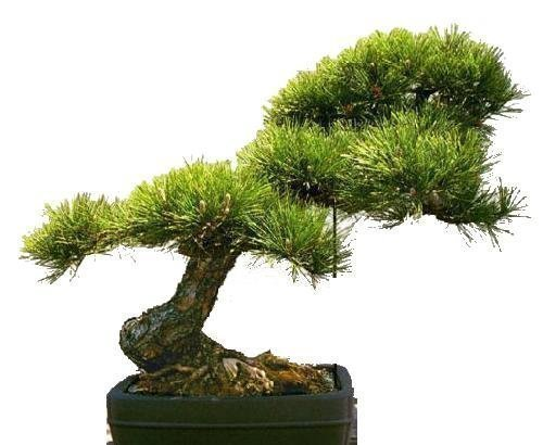 Tropica - bonsaï - pin jaune (Pinus ponderosa) - 20 graines