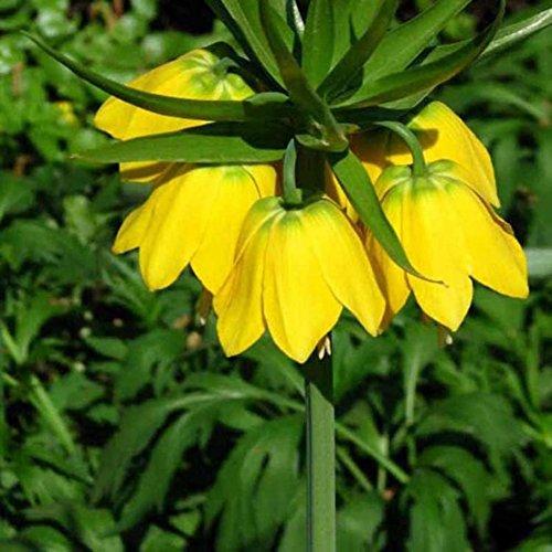 Doubleer 100 graines Jaune Couronne Impériale Graines Fritillaria imperialis Lutea Graines Facile À Cultivent L'usine
