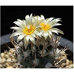 Semillas cactus biznaga planta