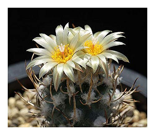 Turbinicarpus flaviflorus - cactus - 10 graines