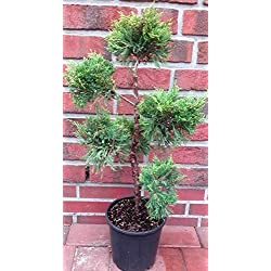 Garten - Bonsai, Wacholder, grüngelb, Höhe: 60-70 cm, Juniperus media Old Gold + Dünger